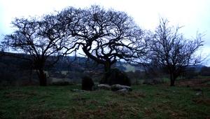 Branas Uchaf trees